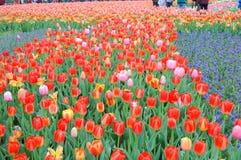 Schöne und elegante rote Tulpe nach Regen stockbild
