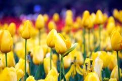 Schöne und elegante Tulpe nach Regen stockfoto