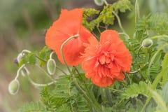 Schöne und empfindliche Mohnblumen in der Blüte in der warmen weichen Einstellung Lizenzfreie Stockfotos