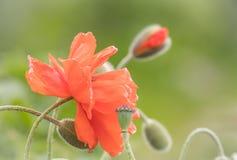Schöne und empfindliche orange Mohnblumen in der Blüte in der warmen weichen Einstellung Stockfoto