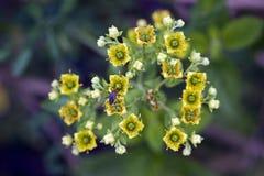 Schöne und extravagante gelbe Mikroblume Lizenzfreies Stockfoto