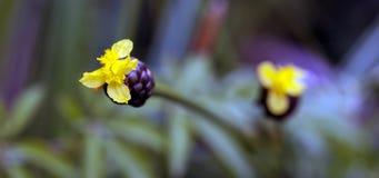 Schöne und extravagante gelbe Mikroblume Lizenzfreie Stockbilder