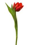 Schöne und frische Tulpe stockfoto