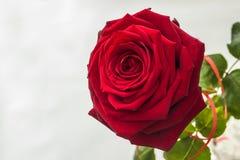 Schöne und große helle Rotrose Stockbild