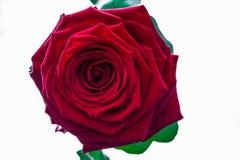 Schöne und große helle Rotrose Stockbilder