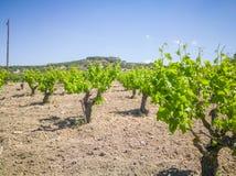 Schöne und Yong-Weinberge andscape mit Weinbergen und Bergen am Hintergrund Griechische Trauben für Wein lizenzfreie stockbilder