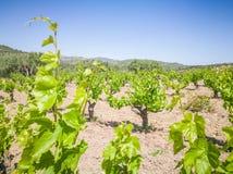 Schöne und Yong-Weinberge Traubenbaumfeld in Griechenland Landschaft mit Weinbergen und Bergen lizenzfreie stockfotografie