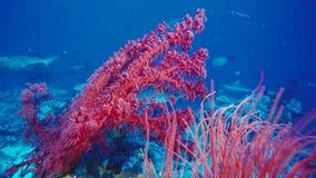 Schöne Unterwasseransicht mit einer roten weichen Koralle, Fan Gesundes Korallenriff, mit vielen Schulung von Fischen, hell und h stockbild