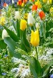 Schöne varicolored Tulpen Feld des grünen Grases gegen einen blauen Himmel mit wispy weißen Wolken Stockbild
