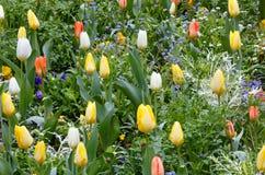 Schöne varicolored Tulpen Feld des grünen Grases gegen einen blauen Himmel mit wispy weißen Wolken Lizenzfreie Stockfotos