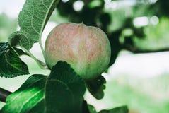 Schöne vektorabbildung Apfelbaum mit kleinem natürlichem Apfel Lizenzfreie Stockfotografie
