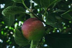 Schöne vektorabbildung Apfelbaum mit kleinem natürlichem Apfel Lizenzfreies Stockfoto