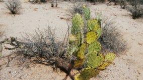 Schöne Verschiebennahaufnahme geschossen vom Kaktusfeigekaktus, der vom Grün trocken geht, sich in Nationalpark USA gelb zu färbe stock video footage