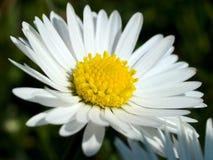 Schöne vibrierende Blume des weißen Gänseblümchens Lizenzfreie Stockbilder