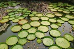 Schöne Victoria Water Platters und Blumen Lizenzfreies Stockbild