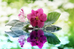Schöne Violablumen reflektiert im Wasser Lizenzfreie Stockfotografie