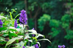 Schöne Violet Purple Liriope Flowers, allgemeine Namen sind Kriechen lilyturf, Grenzgras, Kriechen Liriope, lilyturf, großes blau stockfotografie