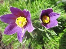 Schöne violette Blumen im Garten, Litauen Lizenzfreie Stockfotografie