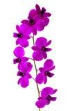 Schöne violette Orchidee Lizenzfreies Stockfoto