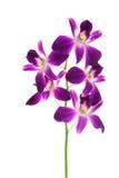 Schöne violette Orchidee Lizenzfreie Stockbilder