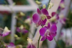 Schöne violette Orchidee Stockbild