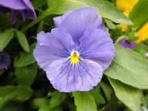 Schöne violette Stiefmütterchenblume im Garten, Litauen Stockfotos