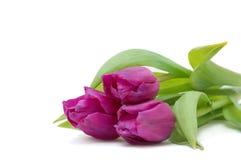 Schöne violette Tulpen auf weißem Hintergrund Lizenzfreies Stockbild