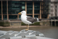 Schöne Vogelseemöwe Lizenzfreie Stockbilder