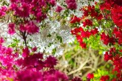 Schöne volle Blüte bunte indische Azaleen-Rhododendron simsii Blumen stockfotos