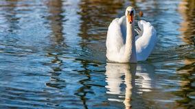 Schöne Vorderansicht eines Höckerschwans, der ruhig in einem Teich schwimmt stockfotos