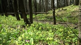 Schöne Waldblumen Ein Fußweg in einem Holz für das Spielen sports stock video footage