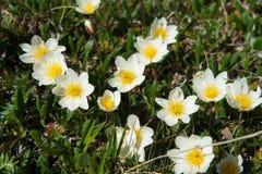 Schöne Waldblumen im sibirischen taiga Khakassia stockbild