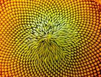 Schöne warme Sonnenblume Stockbild