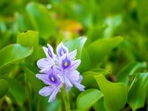 Schöne Wasser-Hyazinthenblumen Stockfotos