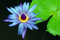 Schöne Wasser-Lilie stockbilder