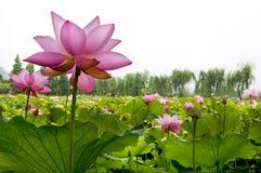 Schöne Wasserlilie Stockfotografie