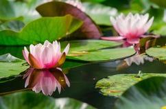 Schöne Wasserpflanze stockfotografie