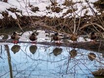 Schöne Wasserreflexionen auf einem See mit Entensee stockfotografie