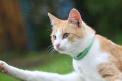 Schöne weiß- rote Katze Lizenzfreie Stockfotos