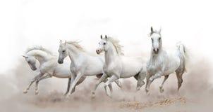 Schöne weiße arabische Pferde stockfotos