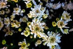 Schöne weiße Blüte gelber Blumen Banken Stockbild