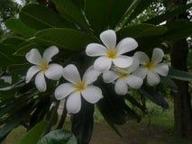 Schöne weiße Blume Lizenzfreie Stockfotos