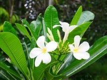 Schöne weiße Blume lizenzfreie stockbilder