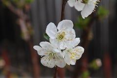 Schöne weiße Blume auf der Blüte des Birnenbaums im Frühjahr stockfotografie