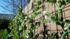 Schöne weiße Blume umgeben durch frische Gartenerbsen Lizenzfreie Stockbilder
