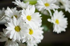 Schöne weiße Blumen der Chrysantheme auf dunklem Hintergrund Lizenzfreie Stockfotografie