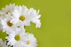 Schöne weiße Blumen der Chrysantheme auf grünem Hintergrund Stockfoto