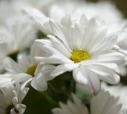 Schöne weiße Blumen des Chrysanthemenabschlusses oben Stockfotografie