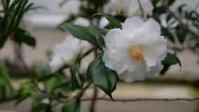 Schöne weiße Blumen mit grünem baclground Lizenzfreie Stockfotografie