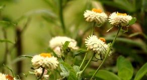 Schöne weiße Blumen mit grünem Hintergrund stockbild